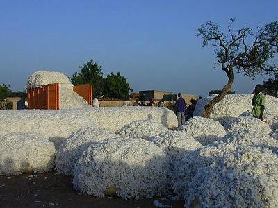 Le coton à Koutiala après la récolte