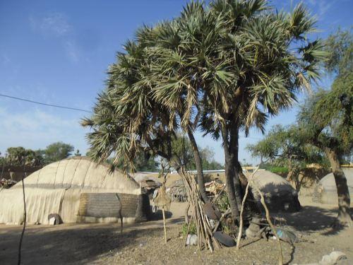 Un palmier doum - Die Dumpalme, Lieferant des Materials