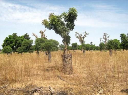 Parc avec des rejets naturels assistés à Néguéna, région de Ségou