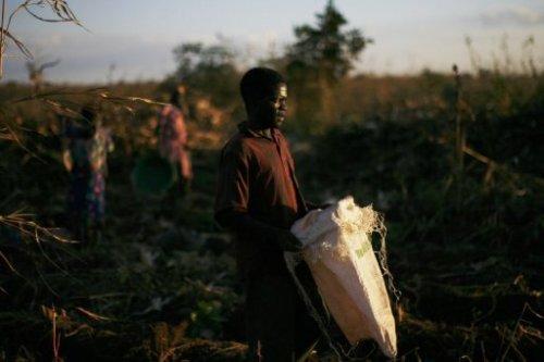 Un homme travaille à la récolte du maïs au Malawi