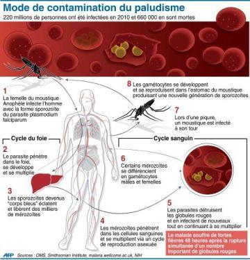 Infographie présentant les différentes étapes de développement du parasite responsable du paludisme