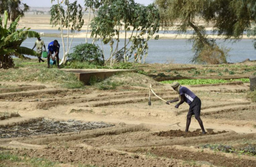 Des Maliens travaillent des lopins de terre au bord du fleuve Niger, à Gao au Mali, le 3