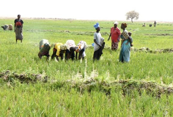 Foto (c) bamada.net: Des champs des riziculteurs dans l'Office Du Niger